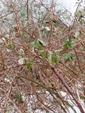 Close up of branches thorny foliage winter cold. Essex; england; uk Royalty Free Stock Images