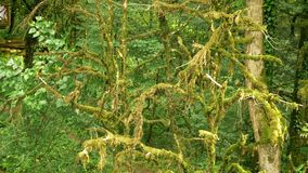 Close-up, branches of trees covered with moss. mystical forest. stock video footage