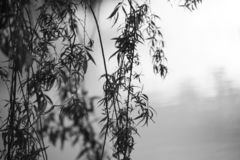 Close up of branches from a weeping willow in black and white stock photos