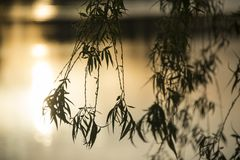 Close up of branches from a weeping willow. Hanging branches from a budding weeping willow in the glow of a sunset royalty free stock photo