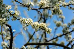 Close-up branches of white cherry plum flowers blossom in spring. Lot of white flowers in sunny spring day on blue sky. Blurred background. Selective focus royalty free stock image