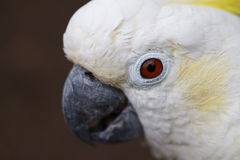 Close-up branco branco da cacatua Fotografia de Stock