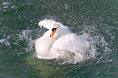 Close-up branco da cisne (olor do Cygnus) Imagens de Stock