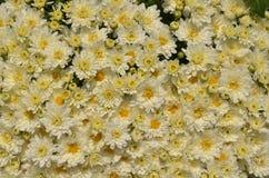 Close up branco da flor do conjunto do crisântemo, fundo fotografia de stock