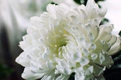 Close-up branco da flor do crisântemo Foto de Stock Royalty Free