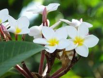 Close up branco da flor do Plumeria na folha verde Foto de Stock Royalty Free