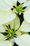 Close up branco da flor do poinsettia Fotografia de Stock
