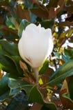 Close up branco da flor em botão da magnólia Foto de Stock Royalty Free