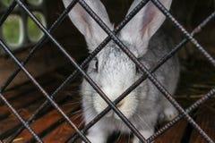 Close-up branco do coelho em uma gaiola Foto de Stock Royalty Free