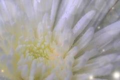 Close up branco do crisântemo com foco seletivo Copie o tex do espaço Foto de Stock Royalty Free