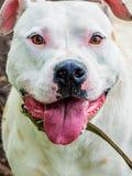Close-up branco do pitbull da raça do cão O cão olha trustingly no olho fotos de stock