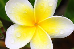 Close-up branco do plumeria com gotas da água Imagem de Stock Royalty Free