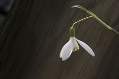 Close up branco do snowbell no fundo cinzento de madeira, espaço vazio, humor claro da mola da simplicidade Fotos de Stock