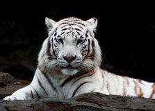 Close up branco do tigre Imagens de Stock Royalty Free