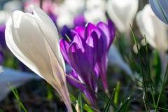 Close up branco e violeta do açafrão Imagens de Stock Royalty Free
