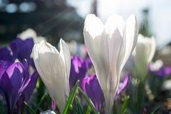 Close up branco e violeta do açafrão Fotos de Stock Royalty Free
