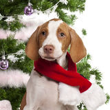 Close-up of Braque Saint-Germain puppy, 3 months. Braque Saint-Germain puppy, 3 months old, with Christmas gifts in front of white background Stock Photos