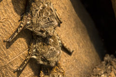 Close-up of Brazilian Long-Nosed Bats Royalty Free Stock Images