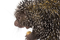 Close-up of Brazilian Porcupine Stock Photography