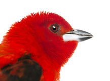 Close-up of a Brazilian Tanager - Ramphocelus bresilius Stock Photography