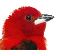 Close-up of a Brazilian Tanager - Ramphocelus bresilius Stock Photos