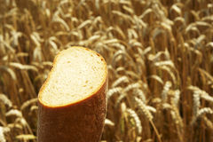 Close up of Bread before Cornfield. Bread before Cornfield, agriculture and traditional food Royalty Free Stock Image