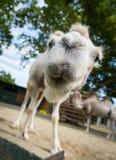 Close-up brede hoek geschotene kameel Royalty-vrije Stock Foto