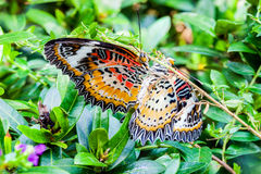 Close-up breeding of Leopard Lacewing butterfly. In garden insects farm Stock Images