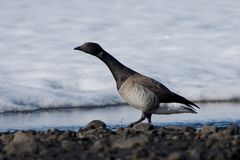 Close-up of Brent goose paddling in water Royalty Free Stock Photo