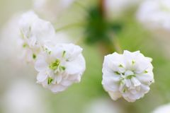 Close up of bridal wreath flowers Royalty Free Stock Image