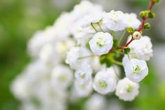 Close up of bridal wreath flowers Stock Photography