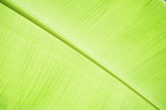 Close up bright banana leaf Stock Images