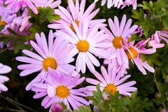 Bright purple daisies and green foliage. Close up of bright and beautiful pink, purple, and white daisies and green foliage Royalty Free Stock Images