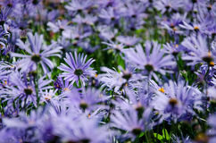Close-up of bright blue wild flowers. Nice floral background. Shallow dof Royalty Free Stock Photo