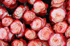 Close-up of bright bunch of roses Stock Image