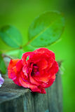 Close-up of bright colorful red rose flower Royalty Free Stock Photography