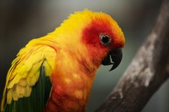 Close up of a Sun Conure parrot. Stock Image