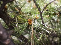 Pine tree brunch royalty free stock photography