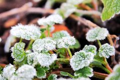 Close up of bright first spring green plant. On white snow Royalty Free Stock Photo