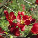 Close-up of bright flowering Japanese quince or Chaenomeles japonica. A lot of red flowers cover branches on blurred garden. stock photos
