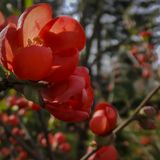 Close-up of bright flowering Japanese quince or Chaenomeles japonica. Red flowers cover the branches on the blurred garden backgro royalty free stock image