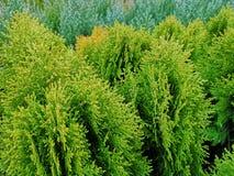 Close-up of fresh green Thuja trees stock photo