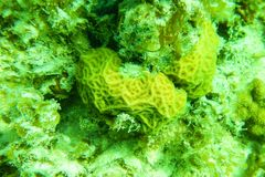 Green coral underwater close. Close up bright green coral growing under water Stock Images