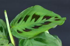 Bright green exotic `Maranta Leuconeura Kerchoveana` Prayer Plant leaf with unique black pattern on dark black background stock photo