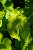 Close-up of bright green hosta
