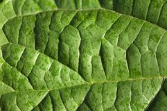 Close up of a bright green leaf Royalty Free Stock Image