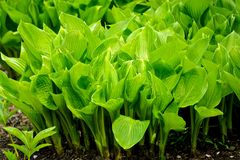 Bright green leaves of a hosta plant