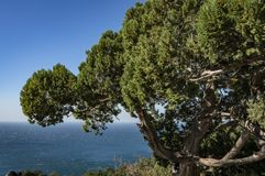 Close-up of a bright green old juniper above the blue sea. The water goes to the blue cloudless sk stock images