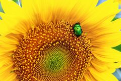Close-up bright green rose chafer beetle gathering pollen from sunflower plant field. Vibrant colorful summer background.  royalty free stock image