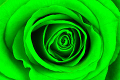 Close-up of a bright green rose Stock Photography
